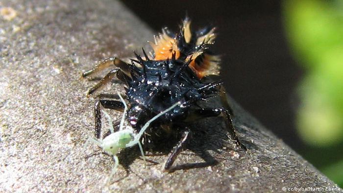 Marienkäferlarve frisst Blattlaus (Foto: Wikimedia)
