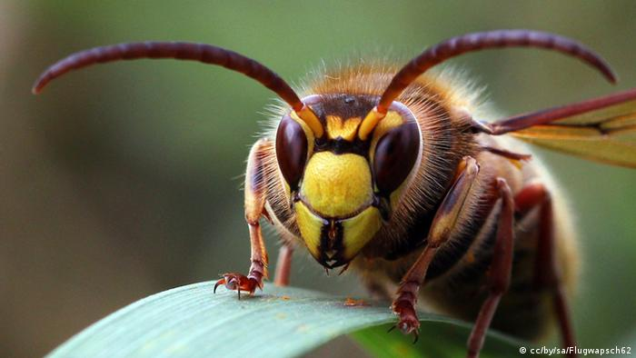 Hornisse (Foto: Wikipedia)