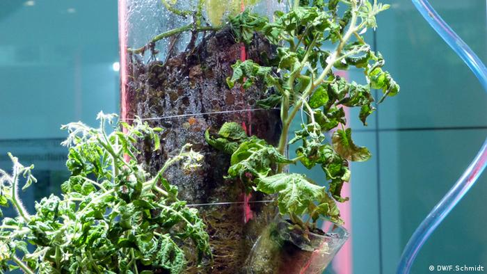 Tomatoes grow inside a glass tube on a lava substrate that composts other waste. (Photo: Fabian Schmidt / DW)