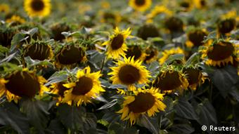 Sunflowers damaged by drought are seen on a field near the village of Matzendorf about 50 km (31 miles) south of Austria's capital Vienna July 26, 2013. (Photo: REUTERS/Leonhard Foeger)