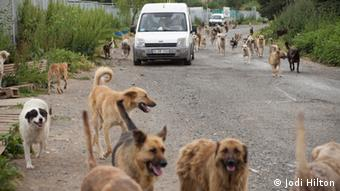 Stray dogs and a white van (poto: Jodi Hilton)