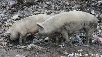 Schweine suchen nach Nahrung auf einer Müllkippe in der Nähe von Durres in Albanien (Foto: DW / von Mirbach)