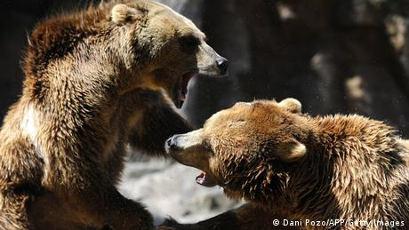 Grizzly Bär Kampf (Dani Pozo/AFP/Getty Images)