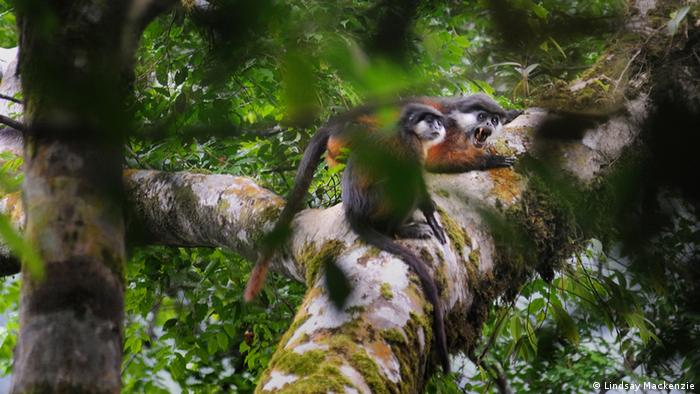 Two monkeys appear on a branch. The male monkey is screaming. Photo: Lindsay Mackenzie