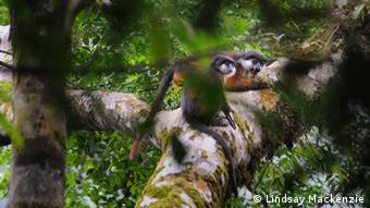 Two monkeys appear on a branch. The male monkey is screaming. Photo: Lindsay Mackenzie