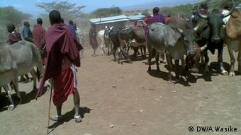Masai men herd cattle for 'meat eating fest'