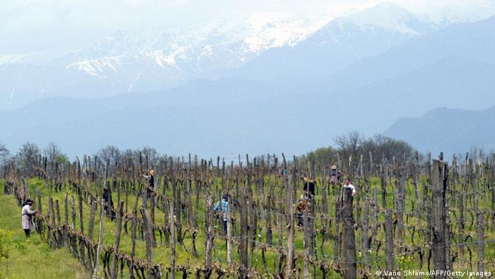 Виноградники близ Телави