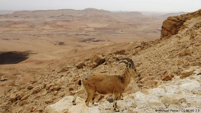 Foto: A billy goat in the Negev Desert (Foto: CC BY-ND 2.0: Michael Panse)