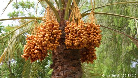 Photo: Date palm tree
