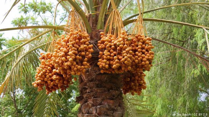 Dattel-Palme in Abu Dhabi: Nahrhafte Früchte heißen, trockenen Gegenden ++ Jan Smith / CC BY 2.0 ++