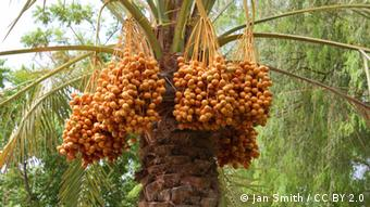 Foto: A date tree laden with fruit (Foto: CC BY 2.0: Jan Smith) ++ Jan Smith / CC BY 2.0 ++