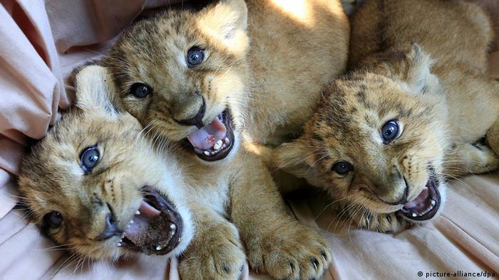 Drei junge asiatische Löwen liegen mit leicht geöffneten Mäulern nebeneinander