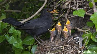 Ein Vogelnest: eine Amsel füttert ihre Jungen, die ihre Schnäbel weit geöffnet haben
