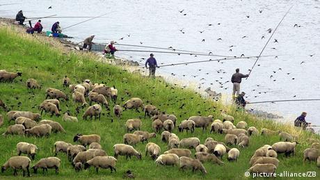 Vögel, Schafe und Angler auf einer Wiese an der Elbe