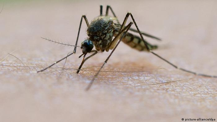 A Anopheles malaria mosquito biting an arm.