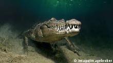 Bildnummer: 58024615 Datum: 16.02.2012 Copyright: imago/imagebroker Leistenkrokodil, Salzwasserkrokodil oder Saltie (Crocodylus porosus), unter Wasser, Republik Kuba, Karibik, Karibisches Meer, Mittelamerika xcb x0x 2012 quer Aufmacher Amerika amerikanisch amerikanische amerikanischer amerikanisches bedrohlich bedrohliche bedrohliches Bedrohung Bedrohungen bedrolicher Crocodylidae Crocodylinae Crocodylus ein eine einer eines eins einzeln einzelne einzelner einzelnes Fauna Gebiss Gebisse gefährlich gefährliche gefährlicher gefährliches gefaehrlich gefaehrliche gefaehrlicher gefaehrliches Gefahr Gefahren Gewässer Gewaesser gruselig gruselige gruseliger gruseliges gruslig gruslige grusliger grusliges Karibik Karibisches Kriechtier Kriechtiere Krokodil Krokodile Kuba kubanisch kubanische kubanischer kubanisches Leistenkrokodil Leistenkrokodile Meer Meere Meeresbewohner Meereslebewesen Meerestiere menschenleer Mittel Mittel-Amerika Mittelamerika Natur niemand oder porosus Reptil Reptilia Reptilien Republik Saltie Salties Salzwasserkrokodil Salzwasserkrokodile Tier Tiere Tierreich Tierwelt unter unterwasser Unterwasseraufnahme Unterwasseraufnahmen Unterwasserfoto Unterwasserfotografie Unterwasserfotos Unterwasserwelt Unterwasserwelten Vertebrata Wasser Wildlife Wildtier Wildtiere Wirbeltier Wirbeltiere Zähne Zaehne Zahn Zentral Zentral-Amerika Zentralamerika 58024615 Date 16 02 2012 Copyright Imago image broker Saltwater crocodile Saltwater crocodile Or Salti Crocodylus porosus under Water Republic Cuba Caribbean Caribbean Sea Central America x0x 2012 horizontal Highlight America American American American American threatening threatening threatening Threat Threats bedrolicher Crocodylidae Crocodylinae Crocodylus a a a a One single Individuals single single Fauna Teeth Bits dangerous Dangerous Dangerous Dangerous dangerous dangerous dangerous dangerous Danger Dangers Waters Water creepy Gruselige Gruseliger spooky gruslig gruslig gruslig gruslig Caribbean Caribbean Kriech
