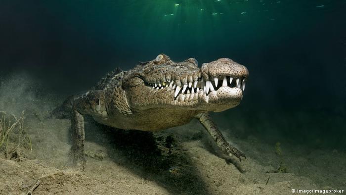 krokodile l nger tauchen mit herzstillstand wissen umwelt dw com. Black Bedroom Furniture Sets. Home Design Ideas