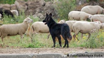 German shepherd dog with a flock of sheep