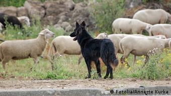 German shepherd dog with a flock of sheep (Fotolia/Annette Kurka)