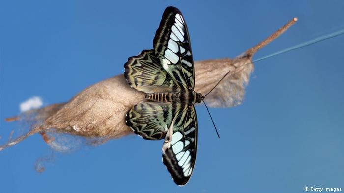 Ein Schmetterling sitzt auf dem Kokon der Raupe