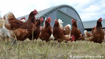 Laying hens (Photo: Philipp Schulze dpa/lni)