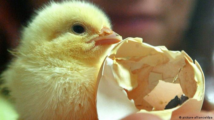 Küken neben zerbrochenem Ei