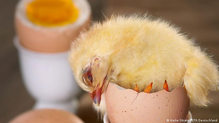 practice of killing male chicks to continue german parliament
