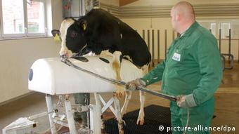 A bull is prompted into ejaculating into a fake dummy in order to obtain sperm (Photo: Winfried Wagner/dpa)