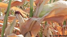 Trockenheit Mais Landwirtschaft Österreich