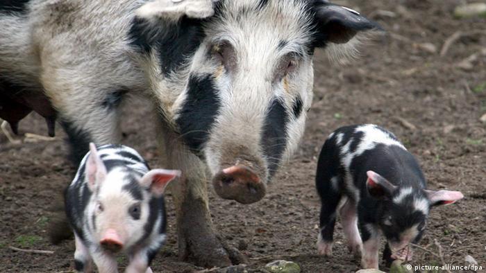 Свиноматка с двумя поросятами