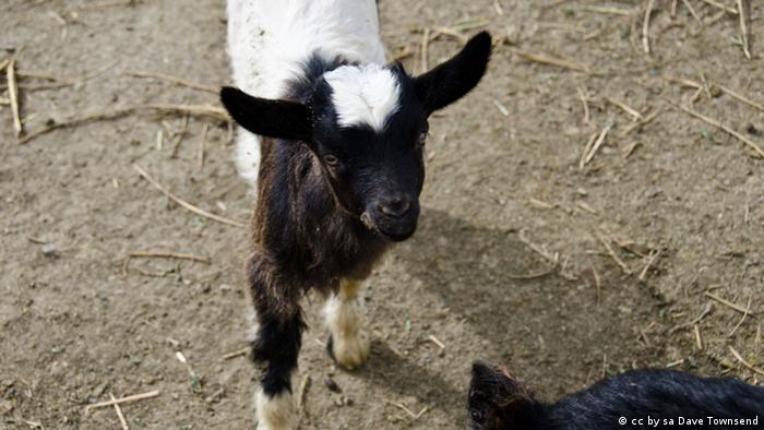 Fainting Goat (Foto: Flickr/ Dave Townsend)