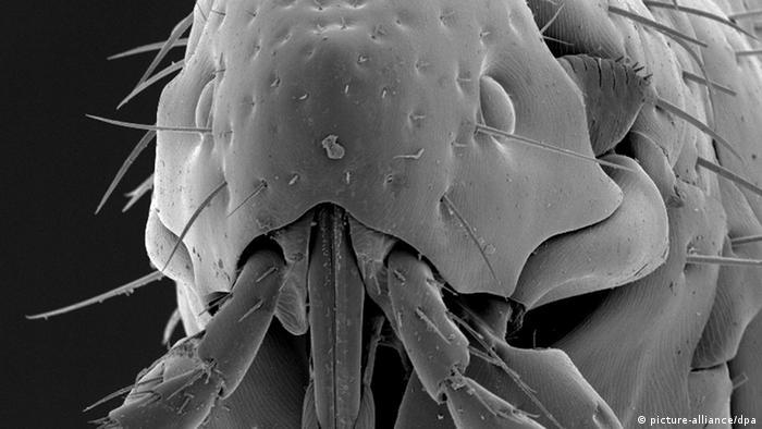 Mikroskopaufnahme eines Flohs (Foto: dpa)
