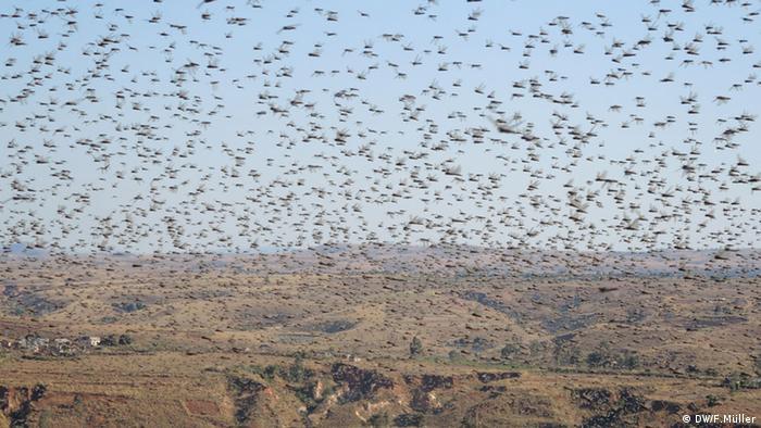 Heuschreckenschwarm über einem Reisfeld in Madagaskar (Foto: Friederike Müller/DW)