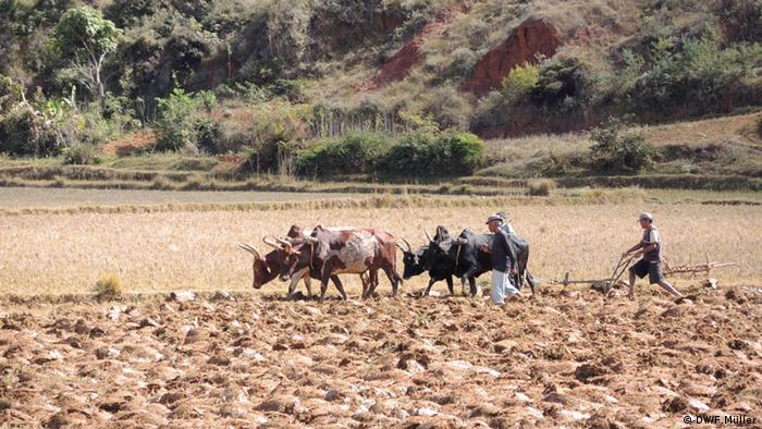 Landwirte bearbeiten ihre Felder im madagassischen Hochland mit Hilfe der Zeburinder (Foto: Friederike Müller/DW)