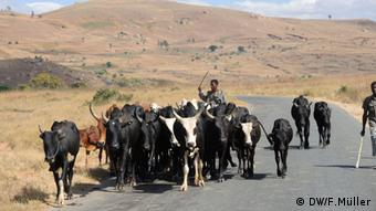 Zwei Männer treiben eine Herde Zeburinder die Straße im Hochland von Madagaskar entlang. (Foto: Friederike Müller/DW)