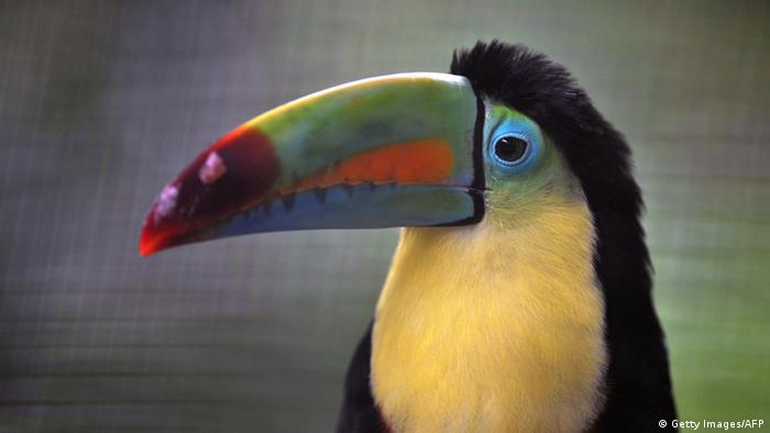 Keel-billed toucan in its cage at the Simon Bolivar Zoo (Photo: HECTOR RETAMAL/AFP/Getty Images)