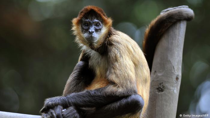 Spider monkey inside its cage at the Simon Bolivar Zoo, which celebrates its 97th anniversary on July 28, 2013 (Photo: HECTOR RETAMAL/AFP/Getty Images)
