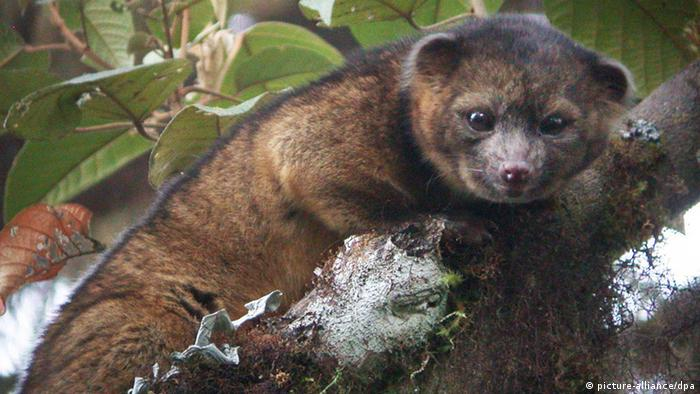 epa03825782 An undated Smithsonian institute handout photo made available 15 August 2013 shows the olinguito (Bassaricyon neblina), the first carnivore species to be discovered in the Americas in thirty-five years, at an undisclose location. The olinguito is the latest documented member of the family Procyonidae, which it shares with raccoons, coatis, kinkajous and olingos. The creature had a mistaken identity for over one hundred years until Smithsonian scientists announced the discovery 15 August 2013. A team, led by Smithsonian scientist Kristofer Helgen, spent 10 years examining hundreds of museum specimens and tracking animals in the wild in the cloud forests of Ecuador. EPA/SMITHSONIAN / HANDOUT HANDOUT EDITORIAL USE ONLY/NO SALES