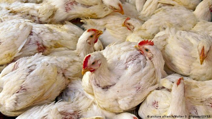 Chicken packed together at a factory farm