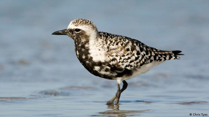 The Grey Plover pictured on Wallasea