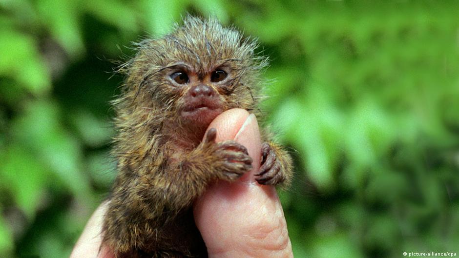 Bildergalerie Die kleinsten Tiere der Welt Zwergseidenäffchen