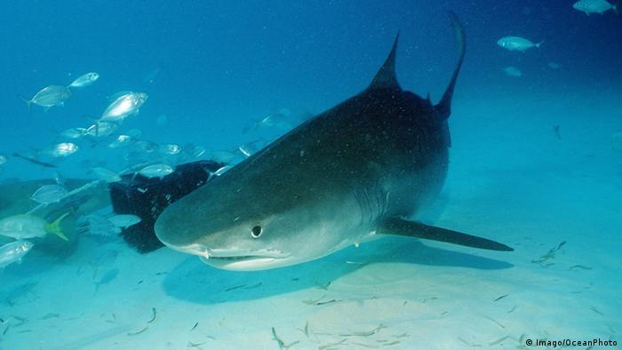 Shark swimming (Picture: Imago/OceanPhoto)