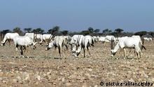Bildergalerie Rote Liste des gefährdeten Welterbes (Oman Wildschutzgebiet)