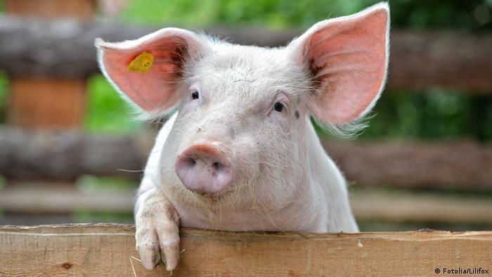 Un cerdo.