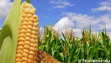 #44039832 - Ear of corn against a field under clouds© smereka Autor smerekaPortfolio ansehen Bildnummer 44039832 Land Ukraine