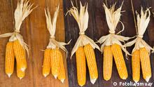 #55036671 - Dry corn© smuay Autor smuayPortfolio ansehen Bildnummer 55036671 Land Thailand