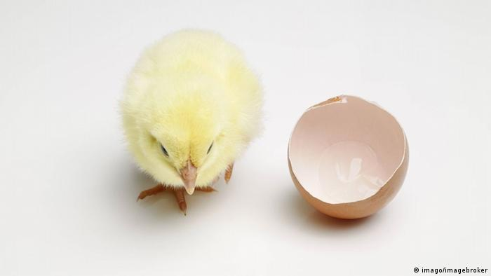 Baby chicken next to an eggshell