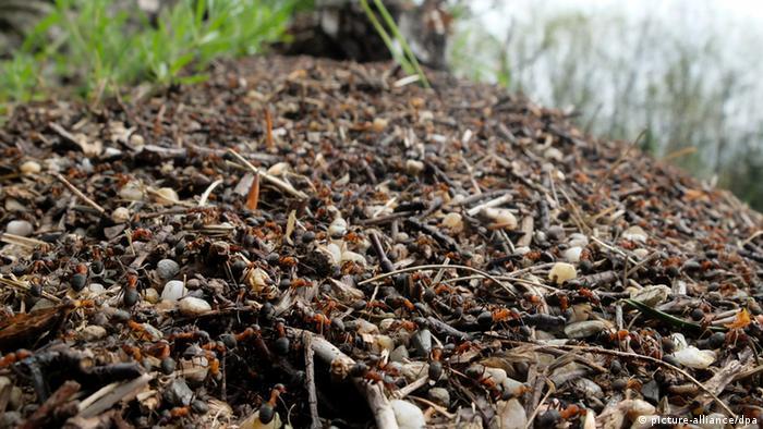 Ameisenhügel (picture-alliance/dpa)