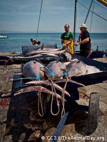 Foto: Fresh tuna on ice (Foto: CC BY 2.0: TheAnimalDay.org/flickr.com: http://www.flickr.com/photos/theanimalday/7142456645/)