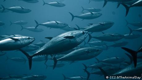 Thunfischschwarm